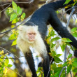 ������, ������: Capuchin Monkey