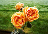 Roses with morning frost — Stock Photo