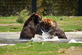 灰熊在发挥作用 — 图库照片