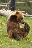 Kır saçlı kahverengi ayı — Stok fotoğraf