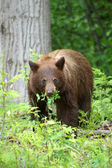 Black Bear eating his meal — Stock Photo