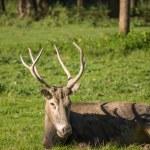 Pere David's deer — Stock Photo