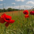 Close-up of brightly colored poppy flowers swaying in the wind — Stock Photo #25761249