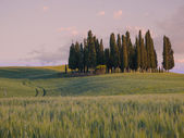 Group of cypress trees at sunset — Stock Photo