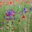 Wild flower in a field of poppies — Stock Photo #26178735