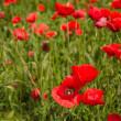 Close-up of brightly colored poppy flowers in spring — Stock Photo #26178749
