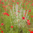 Close-up of brightly colored poppy flowers and a wildflower in — Stock Photo #26178757