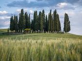 Grupo de árboles de ciprés al atardecer en paisaje toscano — Foto de Stock