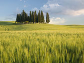 Group of cypress trees at dusk In Tuscan landscape — Stock Photo