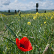 Close-up of brightly colored poppy flowers swaying in the wind — Stock Photo #26570571