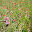 Wild flower in a field of poppies — Stock Photo