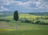 Solitary cypress tree in Tuscan landscape — Stock Photo