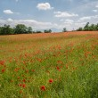 Field of brightly colored poppy flowers in spring — Stock Photo #26586837