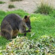 Australian wallaby — Stock Photo