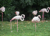 Light pink flamingoes — Stock Photo