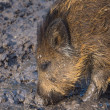 Stock Photo: Young wild boar
