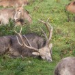 Stock Photo: Group of Pere David's Deer waking up