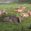 Group of Pere David's Deer waking up — Stock Photo