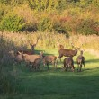 Foto de Stock  : Herd of wary deer in fall at sunset