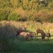 Stock Photo: Herd of wary deer in fall at sunset