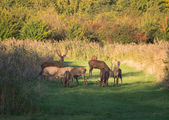 Herd of wary deer in the fall at sunset — Foto de Stock