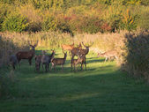 Herd of wary deer in the fall at sunset — Stock Photo