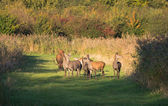 Herd of deer in the fall at sunset — Stock Photo