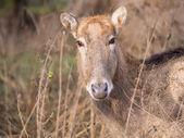 Close-up of a Pere David's Deer — Stockfoto