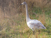Young wild swan — Stock Photo