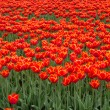 Постер, плакат: Field of fiery red and orange colored tulips