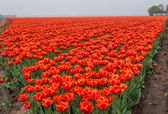 Field of fiery red and orange colored tulips — Stock Photo