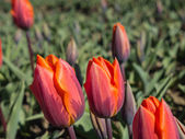 Orange and reddish colored tulips — Stock Photo