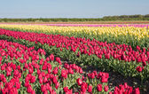 Field of red, yellow and pink tulips — Stock Photo