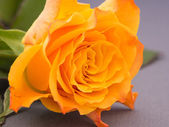 Close-up of an orange colored rose — Stock Photo