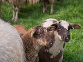 Two little lambs — Foto de Stock