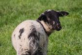 Little lamb with black spots — Stock Photo