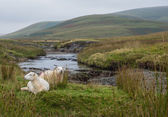 Sheep in Welsh landscape — Stock Photo