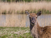 Female red deer — Stock Photo