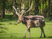 Father David's Deer — Stock Photo