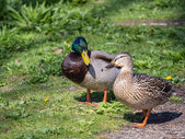Male and female duck — Stock Photo