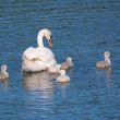 Mute swan and young family — Stock Photo #50641113