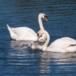 Mute swans and young family — Stock Photo #50641131
