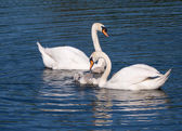 Mute swans and young family — Stock Photo