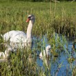 Mute swans and young family — Stock Photo #50733593