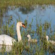 Mute swans and young family — Stock Photo #50733611