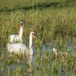 Mute swans and young family — Stock Photo #50733623