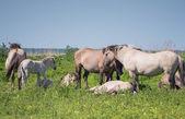 Goup of Konik horses — Stock Photo