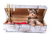 Yorkshire Terrier in the suitcase — Stock Photo