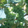 Grapes — Stock Photo #23165250
