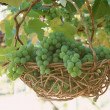 Grapes — Stock Photo #23166852